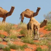 В Австралии истребят десятки тысяч верблюдов