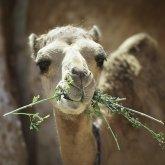 Мангистауских верблюдов экстренно прививают от оспы