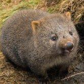 Эмигрировавший в Австралию русский мужчина спасал вомбатов