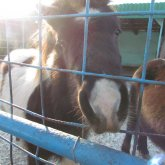 В Семее разразился скандал вокруг зарезанного в детском учреждении пони