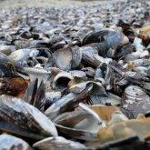 На побережье Новой Зеландии выбросило тысячи заживо сварившихся моллюсков