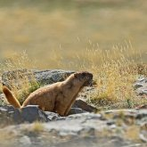 Бубонная чума бушует в Монголии, введен бессрочный карантин
