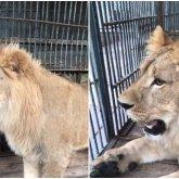 Лев Симба успешно доставлен в зоопарк Алматы