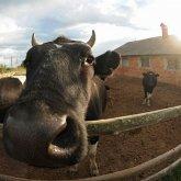 8 288 коров, лошадей и овец помещены на штрафстоянки в Павлодарской области