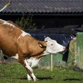 Вспышка бешенства коров зафиксирована в Восточно-Казахстанской области