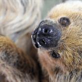 Умер самый старый в мире ленивец