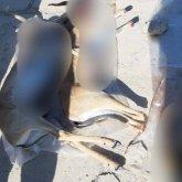 Две сайгачьи туши нашли у жителя Кызылординской области