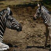 Алматинский зоопарк предложил выбрать имя для детеныша зебры