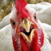 Птичий грипп охватил девять областей Казахстана