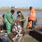 Казахстанские рыбаки большую часть своего улова отправляют за рубеж