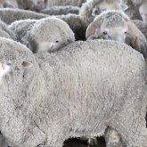 Сотни овец сгорели заживо в Кызылординской области
