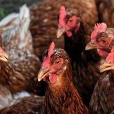 Массовый падеж птицы произошел в Шымкенте