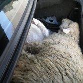 За перевозку овец наказали сельчанина в Павлодарской области