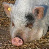 Казахстан предупредил Россию из-за африканской чумы свиней