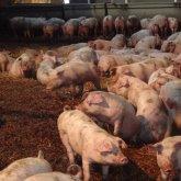 Экологическая катастрофа из-за свинофермы: результаты проверки ужасают