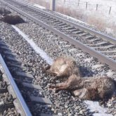Стадо овец сбил поезд в Алматинской области