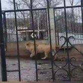 Льва держал в доме алматинец