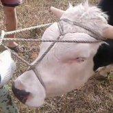 «Денег нет»: павлодарцы готовятся массово вырезать скот