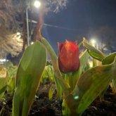 Тюльпаны начали распускаться в Шымкенте