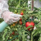 Очень опасный вирус томатов и перца выявлен в Туркестанской области