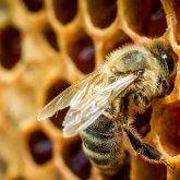 Пчелы исчезают. О массовом вымирании крылатых опылителей заявил казахстанский пчеловод