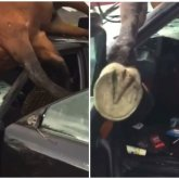 Лошадь пробила головой лобовое стекло автомобиля в Алматинской области