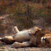 Тело убитого льва нашли в Центральном парке Караганды