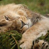 Тело льва нашли в карагандинском парке: установлен владелец животного