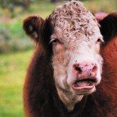 «Живем в деревне, а пасти негде»: сельчане в СКО вынуждены массово убивать свой скот