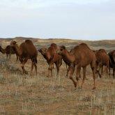 Гниют, разлагаются и отпадают копыта: опасная болезнь поражает верблюдов на юге страны