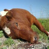 «Народный герой»: казахстанцы сами взялись за спасение скота