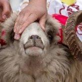 Верховный муфтий призвал казахстанцев не завышать цены на скот перед Курбан айтом