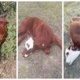 Крупный рогатый скот массово гибнет в СКО