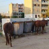 В поисках еды лошади облюбовали мусорки в Актау
