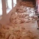 3 тысячи в день: куры массово гибнут в Акмолинской области