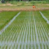 Посевы риса и хлопка сократят в Казахстане