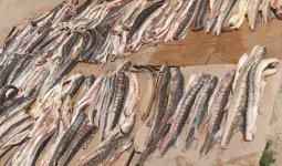 Более 500 кг рыбы осетровых пород обнаружено у жителя Форт-Шевченко