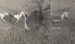 Видео жестокой охоты на степного кота появилось в Сети