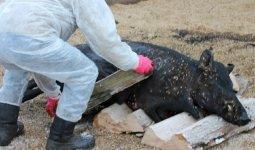 Еще одна смертельная для домашних животных болезнь окружила СКО