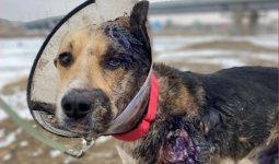 В Алматы уедет собака, которую протащило авто в Атырау