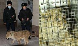 Львенка из шымкентской гостиницы передали в зоопарк