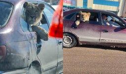 Сидящего в машине льва засняли в Караганде