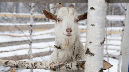 Двое кызылординцев воровали домашних коз