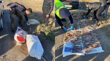 632 сайгачьих рога обнаружили в машине жителя ЗКО