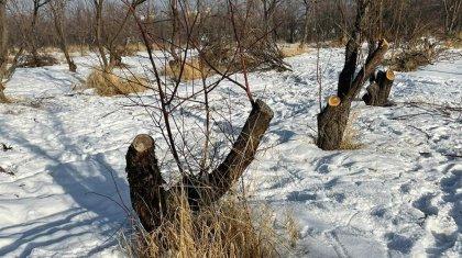 «SOS! Вырубают сады»: экоактивистка заявила о распродаже земли в Алматы