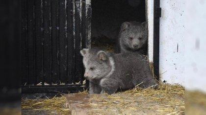 Выбрать имя для новорожденных тянь-шанских медвежат предлагает алматинский зоопарк