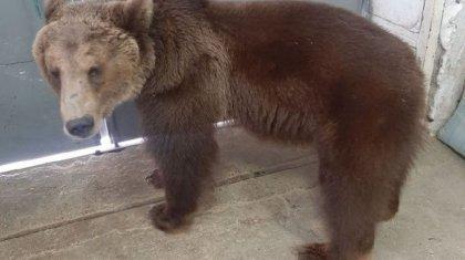 Цирковых медведей пытались продать в Шымкенте: возбуждено дело