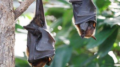 Cмертельно опасный для людей вирус нашли у летучих мышей в Индии
