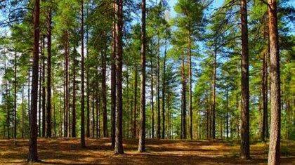 Сосновый бор вырубался под видом очистки леса в резервате «Семей орманы»