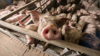 Снова свиноферма: жители Атырау вышли на протест